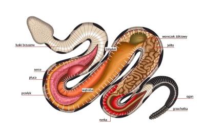 Snake muscle anatomy